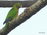 Olive-throated Parakeet 2010