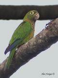 Olive-throated Parakeet 2010 - 2