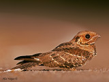 Large-tailed Nightjar -- sp 128