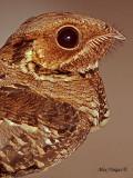 Large-tailed Nightjar - portrait - 2010