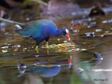 Purple Gallinule 2010