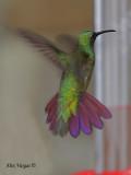 Veraguan Mango 2010 - male - flight