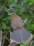 Gray-headed Chachalaca 2010 - back view