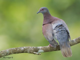 Pale-vented Pigeon 2010 - back view