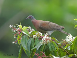Pale-vented Pigeon 2010 - on flowers