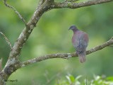 Pale-vented Pigeon 2010 - further out