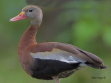 Black-bellied Whistling-Duck 2010 - portrait