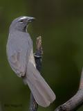 Grayish Saltator 2010 - 3