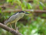 Black-crowned Night-Heron 2010