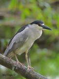 Black-crowned Night-Heron 2010 - adult