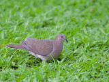 White-tipped Dove 2010 - 2