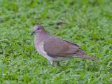 White-tipped Dove 2010