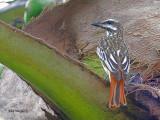 Sulphur-bellied Flycatcher 2010 + Chick