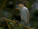 Cattle Egret 2010 - breed
