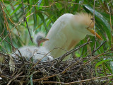 Cattle Egret 2010 - nest with chicks