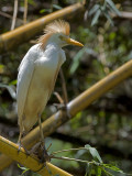 Cattle Egret 2010 - molting