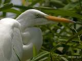 Great Egret 2010 - portrait