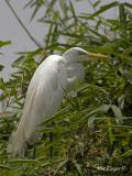 Great Egret 2010 - breed