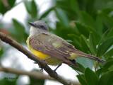 Tropical Kingbird 2010