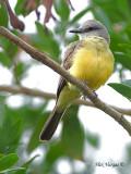 Tropical Kingbird 2010 - 2