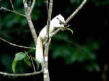 Variable Squirrel - white morph