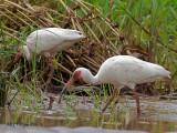 White Ibis 2010