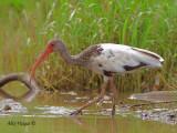 White Ibis 2010 - juvenile