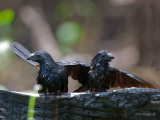 Groove-billed Ani 2010 - 2 guys
