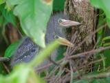 Bare-throated Tiger-Heron 2010 - chicks