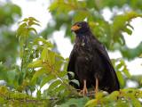 Mangrove Black-Hawk 2010