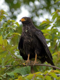 Mangrove Black-Hawk 2010 - muddy