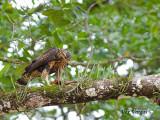 Mangrove Black-Hawk 2010 - juvenile