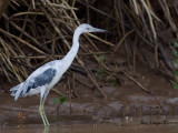 Little Blue Heron 2010 - molting