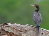 Neotropic Cormorant 2010
