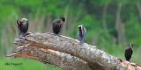 Neotropic Cormorant 2010 - flock