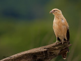 Yellow-headed Caracara 2010