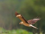 Yellow-headed Caracara 2010 - flight