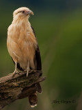Yellow-headed Caracara 2010 - alert