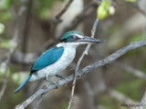 Collared Kingfisher - eyelid