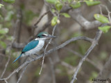 Collared Kingfisher -- sp 138
