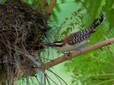 Rufous-naped Wren 2010 - nesting