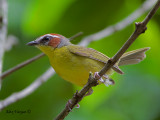 Rufous-capped Warbler 2010