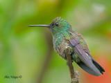 Steely-vented Hummingbird 2010