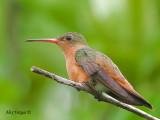 Cinnamon Hummingbird 2010