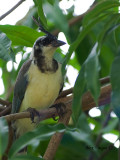 White-throated Magpie-Jay 2010 - juvenile - portrait