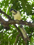 White-throated Magpie-Jay 2010 - juvenile