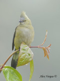 Long-tailed Silky-Flycatcher 2010 - female