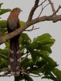 Squirrel Cuckoo 2010