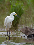 Snowy Egret 2010 - front view