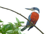 Ringed Kingfisher 2010 - male 2
